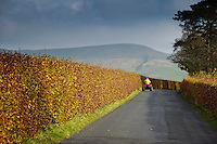 Beech hedge in autumn leaf looking towards Parlick Fell, Bleasdale, Lancashire.