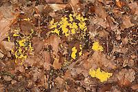 Gelbe Lohblüte, Hexenbutter, Schleimpilz, auf Waldboden, auf Laub und Ästen, Fuligo septica, Sulphur Slime Fungus, Myxomycetes