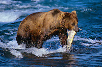 Coastal grizzly bear (Ursus arctos) with salmon (Ursus arctos).