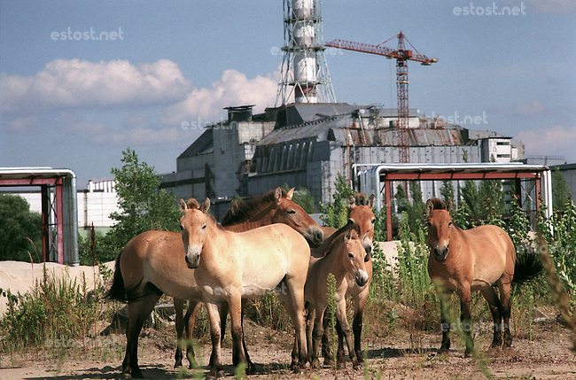 UKRAINE, Chernobyl, 2005/07/27<br /> WILD HORSES - Przevalsky horses from the Ukrainian biosphere reserve Askania-Nova have been introduced into the closed zone a couple of years ago. As they are moving within an area of 3000 square kilometres, it is very difficult to meet them. On the picture they are captured in a magic moment when they &quot;posed&quot; to be photographed in front of the sarcophagus of the Chernobyl Unit No. 4 (Chernobyl, 27th July '05).<br /> &copy; Vaclav Vasku/EST&amp;OST...