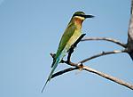 Blue-tailed bee-eater (Merops philippinus) perched, eating insect/bee, Sri Lanka