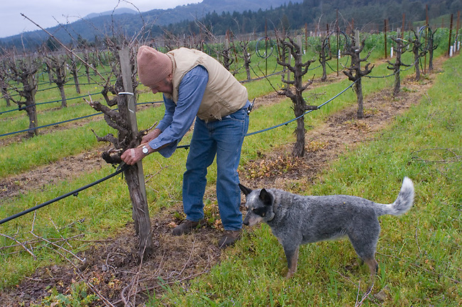 85-year-old Brune Bartolucci prunes his cabernet vineyard in St. Helena.