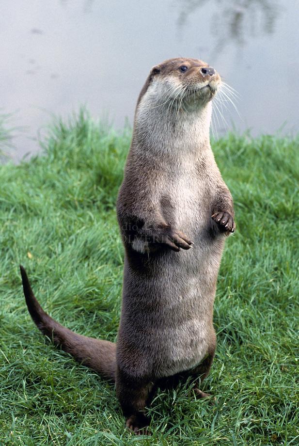 Otter (Lutra lutra) kegelend