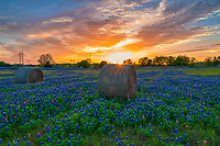 Sunset over these Texas bluebonnets and haybales in rural scene. We loved that we captured this sunset over these haybales as the sun ray were coming over the top of one of the haybales with these wonderful sunset colored sky with this field of wildflowers.