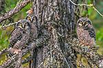 Northern Hawk Owl, Great Slave Lake, Northwest Territories, Canada