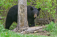 Black Bear walking out of a forest