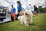 Ruffus, a Tibetan Terrier, checks out the booths at the Students Activities Fair on the East Campus Quad on Wednesday afternoon.