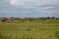 Bali, Indonesia.  Cattle Grazing in Field in Suburban Area.