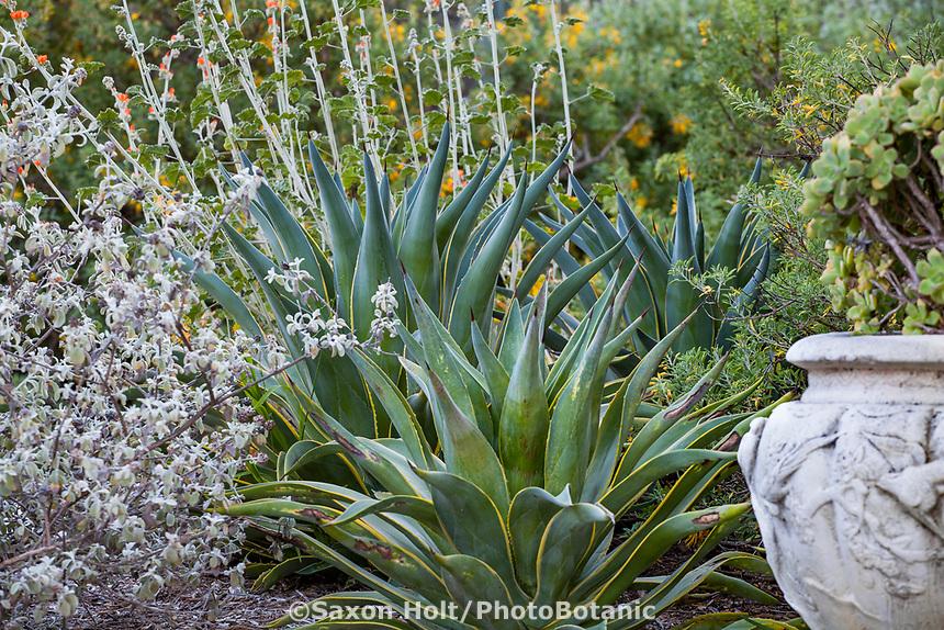 Agave desmettiana 'Variegata' -Smooth Agave; Arlington Garden, Pasadena