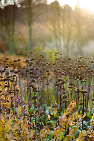 Dried heads of Phlomis russeliana