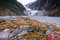 Surviving flora on the rocks in a glacial valley in front of Franz Josef Glacier - Westland National Park, West Coast, New Zealand