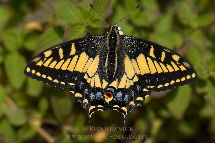 Anise Swallowtail, Papilio zelicaon, Southern California