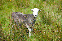Traditional Herdwick sheep at Langdale in the Lake District National Park, Cumbria, UK