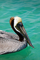Brown pelican off the Florida coast in the Gulf of Mexico by Anna Maria Island, United States of America