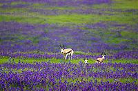 Springbok Grazing in Salvation Jane, South Africa