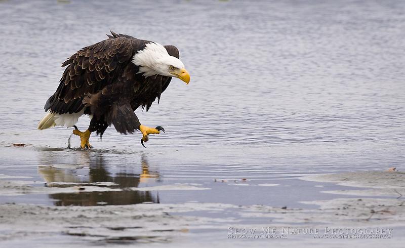 """""""Cowboy Walk"""", Alaska"""