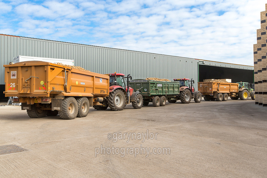 Loaded potato trailers waiting to tip into the grading hopper - Cambreisgeshire, September