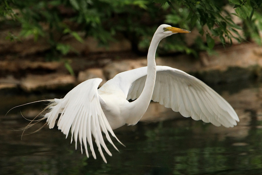 The Great Egret (Ardea alba), also known as the Great White Egret or Great White Heron, and called Kotuku in New Zealand, is a large egret.