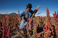 A picture dated March 19, 2013 shows Guadalupe Nina harvesting in her quinoa plantation  in the region of the Uyuni Salt Flats, Jirira, in Oruro, Bolivia.  2013  was declared the international year of Quinoa by the UN.  Bolivia is the main producer of quinoa in the world.