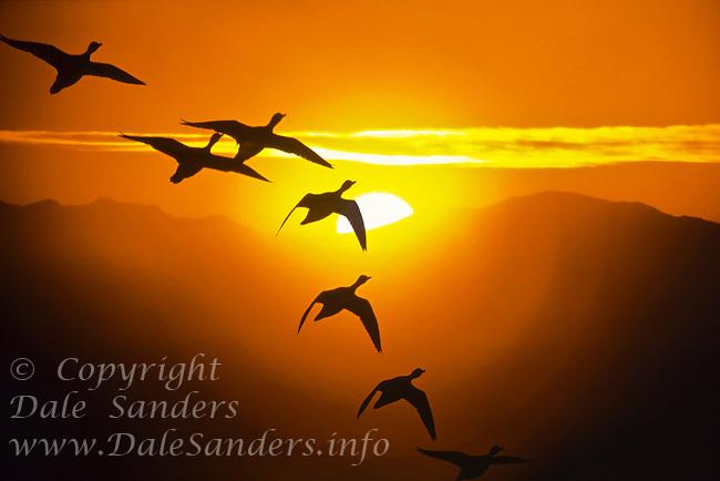 Ducks flying in formation at sunset, British Columbia, Canada.