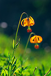 """Columbia Lily"".Olympic National Park, Washington"
