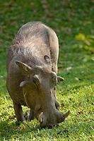 Warthog, Phacochoerus africanus,