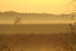 Looking out over an orange grove at sunrise on a misty morning.