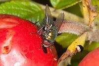 Goldfliege, Gold-Fliege, frisst an einer Hagebutte, Lucilia spec., greenbottle, green bottle fly, Schmeißfliegen, Calliphoridae