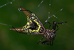 Arrow-shaped orbweaver spider, Microthena brevipes,  Costa Rica, on web, tropical jungle.Central America....