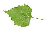 Hänge-Birke, Sand-Birke, Birke, Hängebirke, Sandbirke, Weißbirke, Betula pendula, European White Birch, Silver Birch, warty birch, Le bouleau verruqueux, bouleau blanc. Blatt, Blätter, leaf, leaves