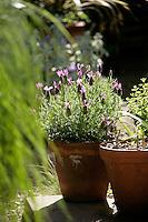 Lavender 'Anouk'