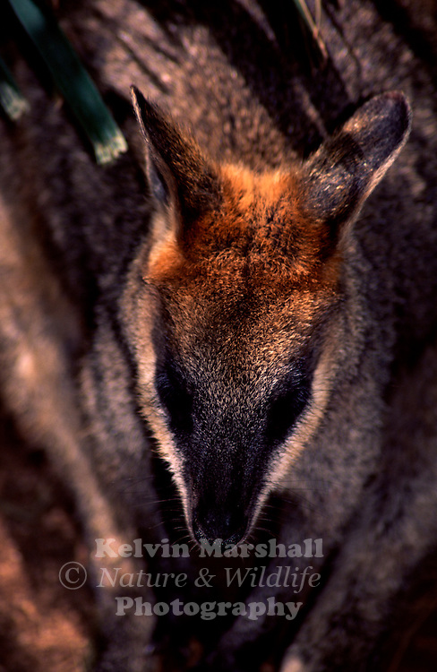 The Swamp wallaby ( Wallabia bicolor )  is found in eastern and southern Australia from Cape York to South western Victoria. They prefer thick undergrowth in the forest where they hide in thick grass and dense bush during the day, and come out at dusk to browse for food. They eat a variety of grasses, shrubs and ferns.