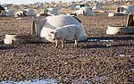 Outdoor pig farming sows in field, Sutton Heath, Suffolk, England, UK