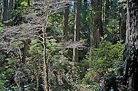 California Redwoods, Orick California