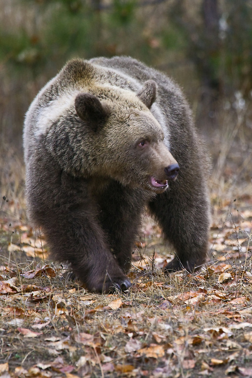 Grizzly Bear turning while walking through leaf litter - CA