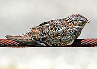 This gray adult male common nighthawk is roosting on a cable beside the roadway at the ferry landing at Port Aransas, TX. The bird was there all day within a few feet of streams of cars.
