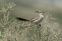 581970032 a wild lecontes thrasher toxostoma lecontei perches in a chapparal plant near maricopa in kern county california