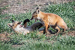 A young fox cub lies pinned to the ground as its brother bites its tail.  The squabbling youngsters were play-fighting when one of them took things too far. <br /> <br /> Musician and amateur photographer Hilary Bralove captured the pictures of the two month old cubs outside their den in Northern Colorado.  SEE OUR COPY FOR DETAILS.<br /> <br /> Please byline: Hilary Bralove/Solent News<br /> <br /> © Hilary Bralove/Solent News & Photo Agency<br /> UK +44 (0) 2380 458800