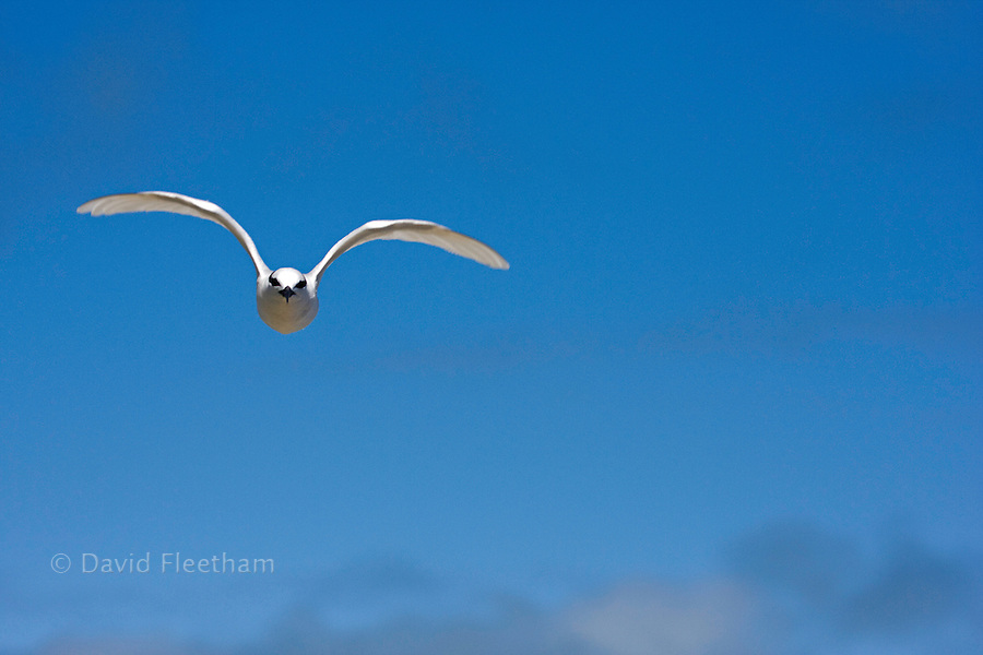 The Black-naped Tern, Sterna sumatrana, is an oceanic tern mostly found in tropical and subtropical areas of the Pacific and Indian Oceans, Fiji.
