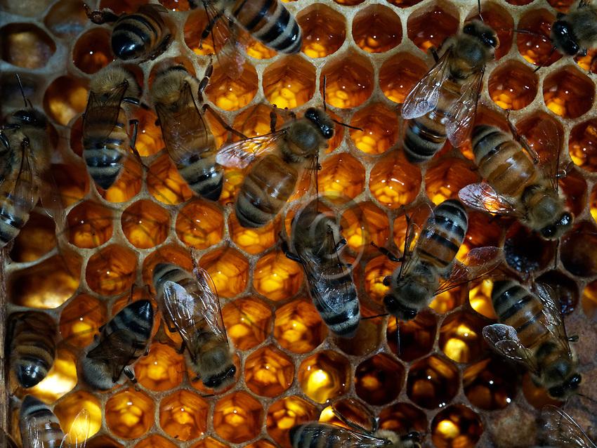Bees on nectar storage cells. 1 kilogram of honey has the same energy value as 5.5 litres of milk or 3 kg of meat or 25 bananas or 40 oranges or 50 eggs.<br /> Abeilles sur des cellules de stockage de nectar. 1 kilo de miel a la m&ecirc;me valeur &eacute;nerg&eacute;tique que 5,5 litres de lait ou 3 kg de viande ou 25 bananes ou 40 oranges ou 50 &oelig;ufs.