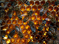 Bees on nectar storage cells. 1 kilogram of honey has the same energy value as 5.5 litres of milk or 3 kg of meat or 25 bananas or 40 oranges or 50 eggs.<br /> Abeilles sur des cellules de stockage de nectar. 1 kilo de miel a la même valeur énergétique que 5,5 litres de lait ou 3 kg de viande ou 25 bananes ou 40 oranges ou 50 œufs.