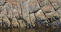 Barnacles and mussels add texture to a photogenic rock wall.