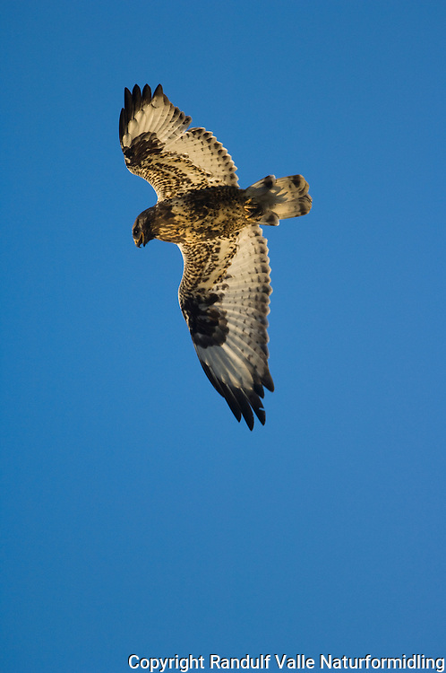 Fjellvåk ---- Rough-legged hawk ---- Buteo lagopus