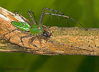 "0515-07pp  Green Lynx Spider  Consuming Fly - Peucetia viridans  ""Eastern Variation"" - © David Kuhn/Dwight Kuhn Photography"