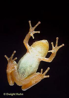 FR16-005b  Spring Peeper Tree Frog - climbing on glass window -  Pseudacris crucifer, formerly Hyla crucifer