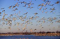 Sandhill cranes overnight in the shallow Platt River in Nebraska during their northward migration.