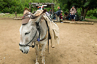 Photo story of Philmont Scout Ranch in Cimarron, New Mexico, taken during a Boy Scout Troop backpack trip in the summer of 2013. Photo is part of a comprehensive picture package which shows in-depth photography of a BSA Ventures crew on a trek. In this photo a working burro after arriving at the Pueblano staff camp in the backcountry of the Philmont Scout Ranch.   <br /> <br /> The  Photo by travel photograph: PatrickschneiderPhoto.com