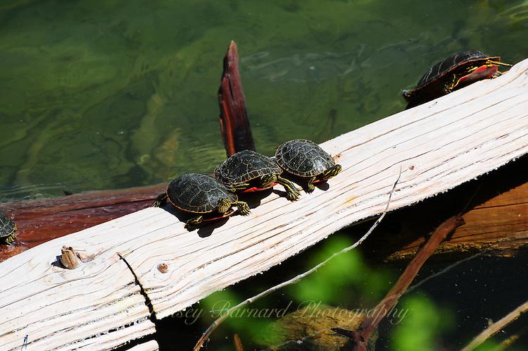 Painted Turtles native to Montana