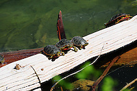 Painted Turtles native to Montana