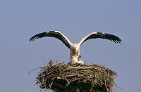 Weiss-Storch, Weissstorch, Weiß-Storch, Weißstorch, Storch, Paar, Pärchen bei der Paarung, Kopula au Nest, Ciconia ciconia, white stork